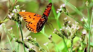 Gulf Fritillary Butterfly In Flight