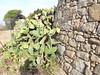 La tour génoise de la Punta di Castagna (Vincentello) Tags: tour tower cactus castagna