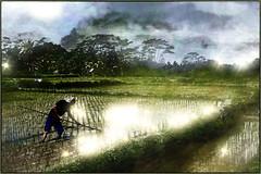 Rice field02