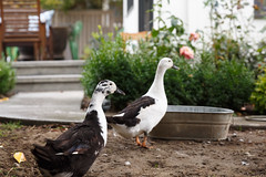 268/365 pet ducks