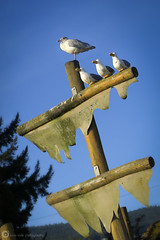 Gullible (PiscesDreamer) Tags: seagull decoy dummies sculpture flagpole mast sails playground westvancouver westvan amblesidepark britishcolumbia canada seawalk