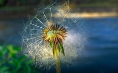 Dandelion (YᗩSᗰIᘉᗴ HᗴᘉS +9 000 000 thx❀) Tags: dandelion macro flower blue light nature hensyasmine belgium