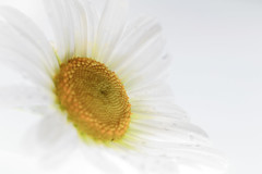 100X 2017 - 71/100 Photos with Primes Lenses Only (norasphotos4u) Tags: flowersplants canonef100mmf28lisusmmacro canon7dmkii fb macro social ©noraleonard white 100xthe2017edition 100x2017 image71100
