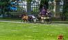 minature horses at palmse manor, estonia