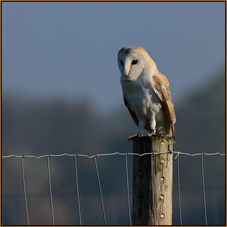 Barn Owl (image 2 of 2)