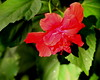 Mary's Hibiscus (Noel C. Hankamer) Tags: red beautiful background hibiscus closeup isolated flora garden plant tropical nature natural green hibiscusflower leaf flower blossom blooming color bloom beauty outdoor malvaceae rose mallow