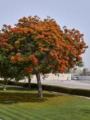 Árbol de fuego, Dubai, EAU
