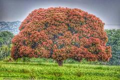 Mango Tree. (Meraj.) Tags: fruit karnataka hdrphotography greenery beyondbokeh beautiful india nikond5300 nikonflickraward nikon amateur photography landscape tree mango mangoes