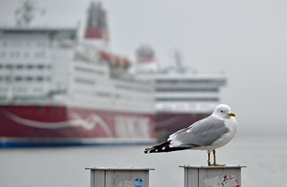 Foggy morning in the Port of #Helsinki. #Finland. Common gull