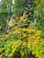 Yellow and green (walneylad) Tags: westlynn lynnvalley northvancouver britishcolumbia canada park parkland forest rainforest urbanforest woods woodland october fall autumn afternoon trail trees leaves ferns clouds rain wet green yellow brown nature scenery view