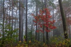 the (future) red queen (ralfkai41) Tags: autumn colours landschaft woods mist outdoor wald natur bäume woodlands forest farben colourful fog landscape nature nebel herbst