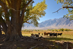 Cattle Ranch in the Wild West (milton sun) Tags: cattleranch wildwest roundvalley easternsierra california highway395 trees ranch cows cattle landscape mountains clouds sky meadows autumn fall forest outdoor natural sierra