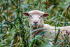 punk sheep (Paul Wrights Reserved) Tags: sheep looking field chomping eating earing earings animal mammal