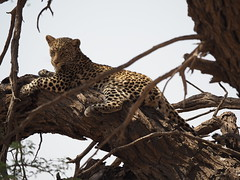 PA012268 Leopard (Joanna P Dale) Tags: kgalagaditransfrontierpark tweerivieren olympus omdem1mkii panasonic100400 africanleopard leopard