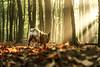 morning woods (Stuart Nice) Tags: woods morning sun light shards dog outdoors autumn