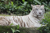 White Tiger_Canon 5dsR_HSS_BZ15 (Barry Zee) Tags: white tiger singaporezoo zooanimal 5dsr 1view0faves0commentsshowmorestatstakenonoctober3 2017allrightsreservedcanoneos5dsr canonef300mmf4lisusm whitetiger canonphotography explore