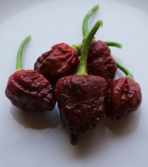 Apocalypse Scorpion Chocolate Chilli Peppers (TheChili.Life) Tags: chilli chili chile chillies peppers hot capsicum chinense plant growing gyo indoors led