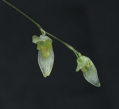 Pabstiella sp var. CUN/SP (Micro-orquídeas Roberto Martins) Tags: pabstiella sp var cunsp pleurothallis pleurothallidenae epifitas micro microorquídeas mini orquídeas exposição orquidáceas galeria robertomicroorquideas robertoorquideas robertomicros permuta venda de coleção