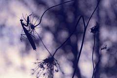 Alien (castel.yo44) Tags: mantis sigma bokeh nature art light sunset d610 garden photographie photo photographe paysage proxy proxyphoto macro macrophotographie macrophoto minimaliste minimalisme mante religieuse mantidae insectes color couleur flare flou artistique artist ambiance univers