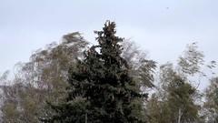 Sturmtief Xavier biegt die Bäume (v.boldychev) Tags: hurricane broken wind storm brandenburg gebrochen orkan xavier bestensee germany fichte birke sturmtief sturm