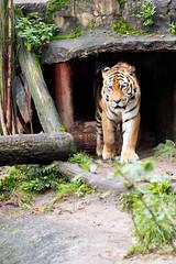 IMG_1305 (TvdMost) Tags: amurtiger dierentuin dierenparkamersfoort pantheratigrisaltaica siberiantiger siberischetijger tijger zoo tiger