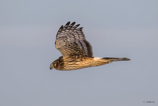 Northern Harrier / Busard Saint-Martin