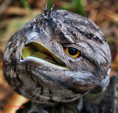 Tawny frog mouthA 27 9 17 (paulberridge) Tags: tawnyfrogmouth podargusstrigoides frogmouth bird birdphotography wildlife nature google images photography wettropics rainforest cairns queensland australia canon canonphotography travel travelphotography outdoors