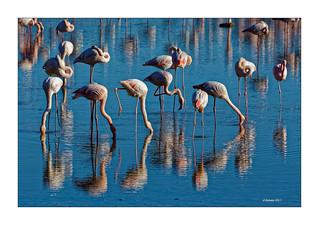CAMARGUE - Flamingos