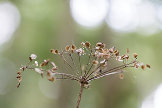 Seeding Umbel