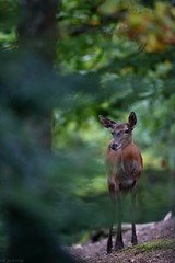 La reine. (Pierrick Berton) Tags: canonfrance biche cerf automne alsace