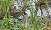 Spotted Crake (Porzana porzana). (Sandra Standbridge.) Tags: bird spottedcrake porzanaporzana wildandfree wild wildlife outdoor nature reeds elusive waterbird mud rare shy