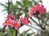 Pink Frangipane flowers (Quetzalcoatl86) Tags: flower frangipane tropical mauritius ilemaurice