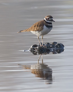 Killdeer in the creek.