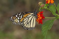 Monarch, female (Danaus plexippus) (AllHarts) Tags: femalemonarchdanausplexippus shelbyfarmsparkpublicgardens memphistn naturesspirit thesunshinegroup naturescarousel ngc npc butterflygallery challengeclubchampions