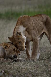 calins de lions