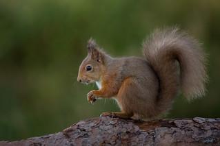 Red Squirrel - Strike a pose