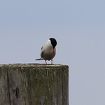 Common Tern, Thinking thumbnail