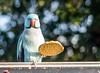 Tea time (spjarvis1) Tags: birds nature feeding biscuit parakeet bird