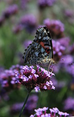 Butterfly on a flower (pegase1972) Tags: attractive beauty butterfly butterflyflower butterflyisolated closeup colorful flower macro natural nature photography summer vanessacardui paintedlady licensed exclusive getty