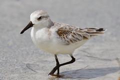 Sanderling (dbadair) Tags: outdoor seaside shore sea sky water nature wildlife 7dm2 gulf ft desoto bird