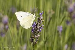 Cabbage White (martinaschneider) Tags: lavender lavenderfarm lavenderrows butterfly cabbagewhite ontario farm summer