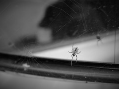 Wing mirror web weaver (JulieK (thanks for 8 million views)) Tags: hww wingmirror car glass reflection spider arachnid canoneos100d web arachtober bw monochrome carwindow