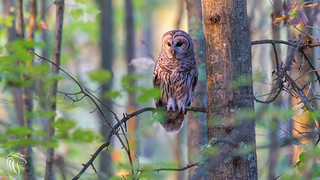 Barred Owls of New Jersey | 2017 -13