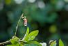 MACRO MONDAY  : ' Spiral ' Passiflora after the rain... (Chris10 H.) Tags: passiflora macromondays spiral