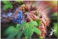 Autumn fruit (UfoSp@in ஐ★Freelance Photo★ஐ) Tags: live luz light lugares beatiful bokeh best texturas texture textura españa explore espagne exposure ef eos wind ufospin usm ufo photo photography photoshop photomatrix pueblos reflejo flare lens sun canon 5d mark ii color colores colors madrid myself macbookpro macbook mac monumentos fotografia foco art alien arte view mystery hdr happy hidden sky guadarrama sierra mountains montañas clouds nubes flight sol camino lines serene digital sunsent aire comunidaddemadrid camorritos cercedilla 2017 autumn fruit mora otoño
