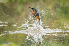 Kingfisher (Alcedo atthis)  - Missed his lunch 500_2153.jpg (Mobile Lynn - Limited internet) Tags: wild kingfisher birds nature aves bird chordata coraciiformes fauna wildlife otterbourne england unitedkingdom gb coth specanimal coth5 ngc sunrays5 npc