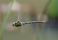 Southern Hawker - Male (trisail) Tags: hawker southern olympus rspb sandy pond male blue yellow black microfourthirds southernhawker inflight