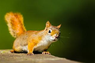 American Red Squirrel - Tamasciurus hudsonicus