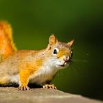 American Red Squirrel - Tamasciurus hudsonicus thumbnail