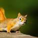 American+Red+Squirrel+-+Tamasciurus+hudsonicus
